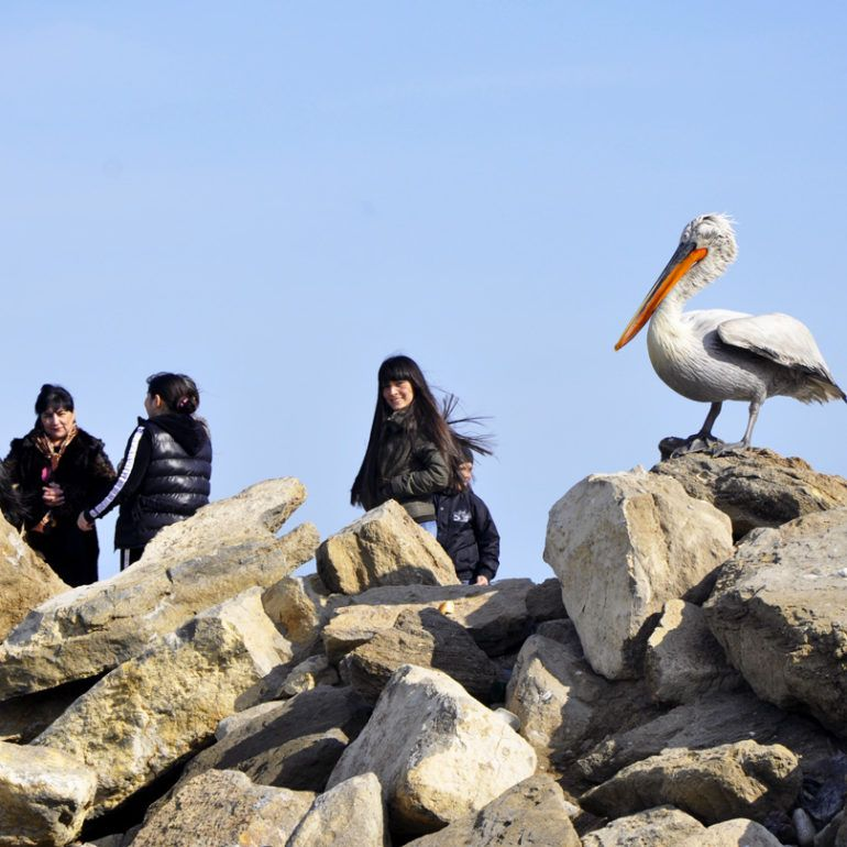 Фото Пеликаны – неожиданные гости